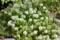 小形白花のウツボ草。(25.6.22)