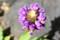 近年、珍しい「ウツボ草」の花。(25.6.22)