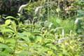 咲き始めた、「オカトラノオ(岡虎の尾)」の花。(25.6.30))