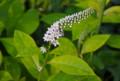 咲き始めた、「オカトラノオ(岡虎の尾)」の花。(