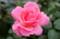 わが家で唯一の「大輪のバラ」。(25.7.1)