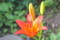 夏の花、「スカシユリ」。(25.7.2)