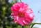 夏の花、「タチアオイ」。(25.7.2)