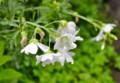 雨粒に打たれた「ムスクマロー」の花。(25.7.5)
