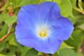 初咲きの「ヘヴンリーブルー」朝顔。(25.7.24)