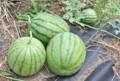 「小玉スイカ(西瓜)」の収穫。(25.7.28)
