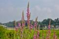 盆花の代表格、「ミソハギ(禊萩)」の花。(