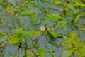「ミズオオバコ(水車前草)」の花。(25.8.2)