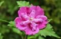 規則性のある花弁の重なり、八重咲きの「ムクゲ」。(25.8.12)