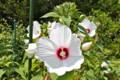 庭先に咲く、「アメリカフヨウ(芙蓉)」の花。(25.8.14)