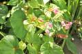 咲き始めた「シュウカイドウ(秋海棠)」の花。(25.8.18)
