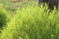 賢治が「コキア」と呼んだ「箒草」。(25.8.18)