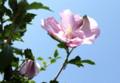 青空に、夏の花木「ムクゲ(木槿)」の花。(25.8.22)