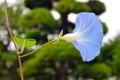 雨に濡れた「ヘヴンリーブルー」の花。(25.8.27)(7:04)