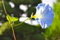 朝日を受けて輝く、「ヘヴンリーブルー」の花。(25.8.27('7:32)