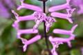 横から見た「モナラベンダー」の花。(25.9.14)