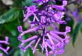 上から見た「モナラベンダー」の花。(25.9.14)