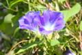 冷え込み、開き切らない「ヘヴンリーブルー」朝顔の花。(25.9.17)(8:12)