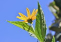 青空に映える、「キクイモ(菊芋)」の花。(25.10.7)