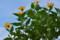 「キクイモ(菊芋)」の花。(25.10.9)