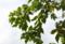 「梶」の木。(25.10.10)