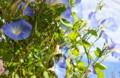 風に揺れる「ヘヴンリーブルー」の花。(25.10.11)