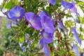 昨日から萎まない「ヘヴンリーブルー」朝顔の花。(25.10.15)(8:50)