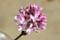 返り咲きの「ライラック(リラ)」の花。(25.10.30)