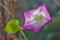 咲き終わって、赤く変わった花びら。(25.11.1)