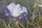 朝日を透かして、「ヘヴンリーブルー」の花。(25.11.1)