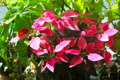「プリンセチア」の鉢花。(