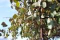 霜が降りた日の「キウイフルーツ」。(25.11.12)