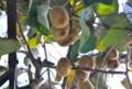 一昨日、強い霜が降りた日の「キウイフルーツ」。(25.11.12)