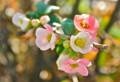 小春日和、「ボケ(木瓜)の返り咲き」の花。(25.11.17)