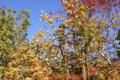ご近所の植え込みの木々、秋たけなわ。(25.11.19)