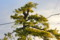 朝日を浴びる「リギダ松」。(25.11.23)(7:23)