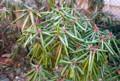 寒さで縮んだ「シャクナゲ(石楠花)」の葉。(25.12.9)