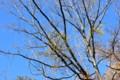 青空に映える、「ホザキ寄生木」の黄色の実。(25.12.21)