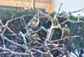 ハナカイドウに、カワラヒワの群が…。(25.12.24)