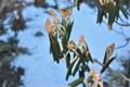 寒さで縮んだ「シャクナゲ(石楠花)」の葉。(26.1.10)