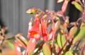 咲き始めた「カランコエ・ハッピーベル」。(26.1.16)