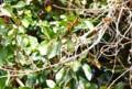 「オオイタビ」、緑色未熟の実。(26.1.24)