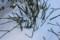 雪に埋まる、「トクサ(木賊)」の茎。(26.2.10)