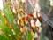 生け花材料のヤナギ(楊)・アカメヤナギ。(26.2.10)