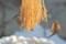 稲穂の籾を啄む「スズメ(雀)」。(26.2.17)