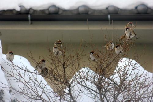 ウメモドキの枝に、「スズメ(雀)」の群れ。(26.2.18)(7:24)