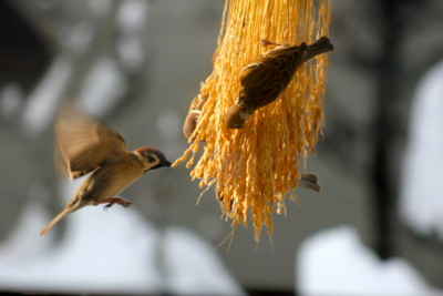 稲穂・籾を啄む、スズメ(雀)たち。(26.2.18)(8:48)