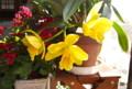 見事に開いた「カトレア」の花。(26.3.19)