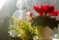 東の窓、朝日を浴びる「アジアンタム」と「シペラス」。(26.3.22)