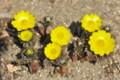 春の日差しに、「フクジュソウ(福寿草)」が開花。(26.3.23)(11:30)
